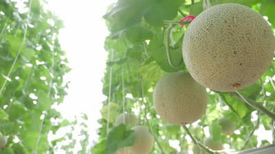 Close up of melons growing in a greenhouse farm