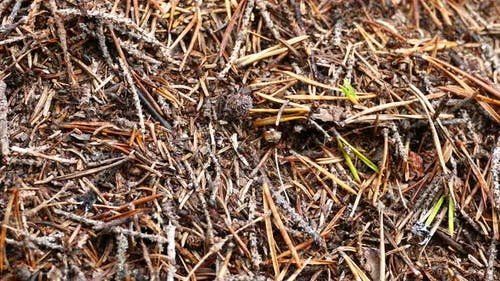 Ants at a fir tree anthill