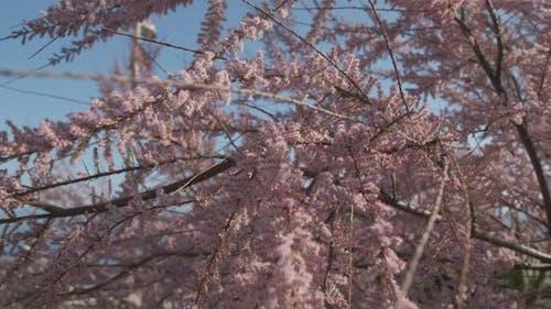 Judas Tree Blooming in Spring