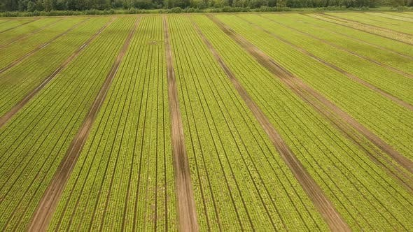Thumbnail for Field with Rows of Salad.