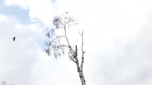 Thumbnail for Dying Birch Tree