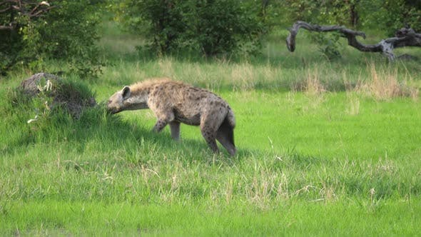 Cover Image for Hyena sniffing around at Moremi Game Reserve in Botswana