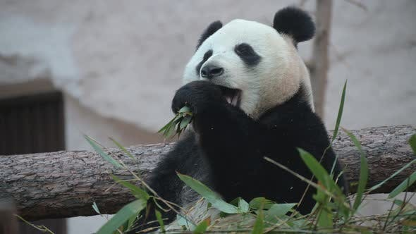 Thumbnail for The Young Panda Eats, the Animal Eats the Green Shoots of Bamboo