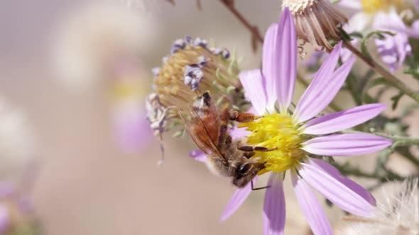 Thumbnail for Honey bee on clover flowers