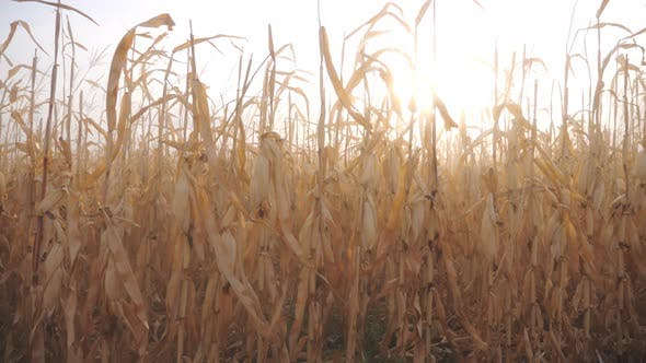 Thumbnail for View of Field with Dry Yellow Corn Stems with Sunset at Background