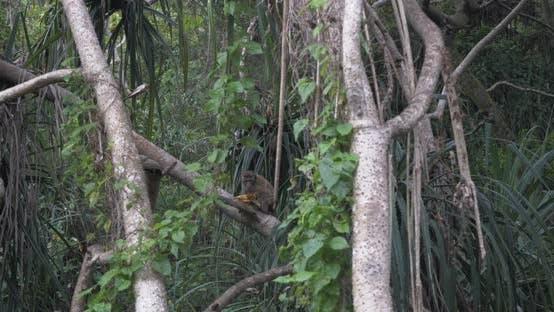 Thumbnail for Toque Macaque (Macaca Sinica) in Sri Lanka