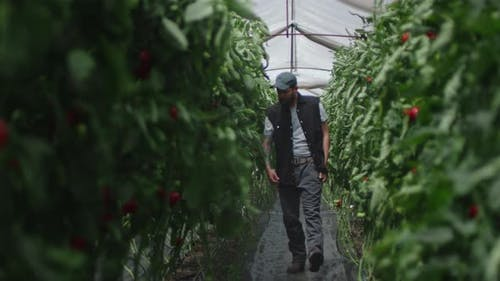 Man Checking Tomato Plants in Greenhouse