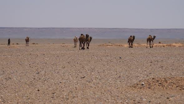 Thumbnail for Herd dromedary camels