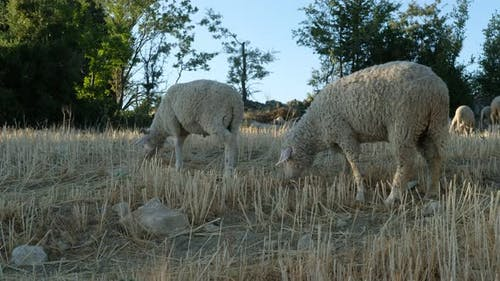 Sheep Grazing Open Field