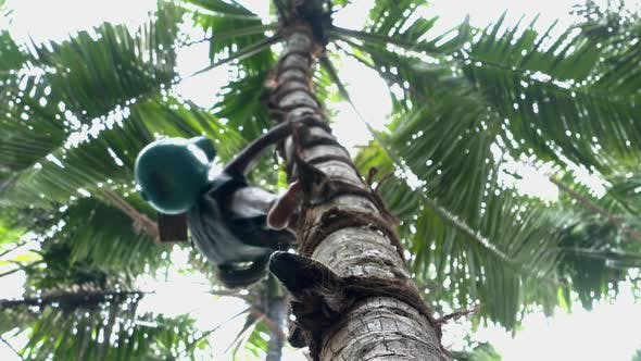 Thumbnail for Toddy Tapper Climbs Coconut Tree