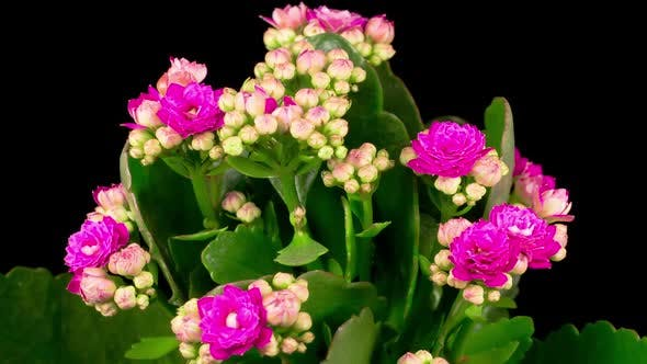 Time Lapse of Opening Pink Kalanchoe Flower