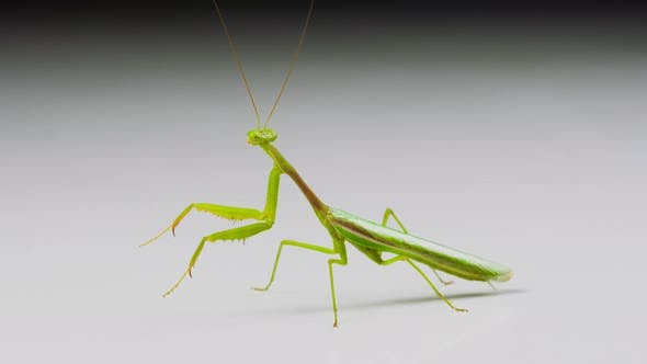 Thumbnail for Macro shot of a Praying Mantis on a white background