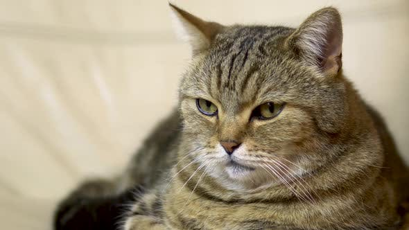 A British Cat Lies on an Armchair and Falls Asleep. Cat Face Close Up.
