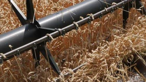 Combine Threshes Wheat Stalks. Harvest