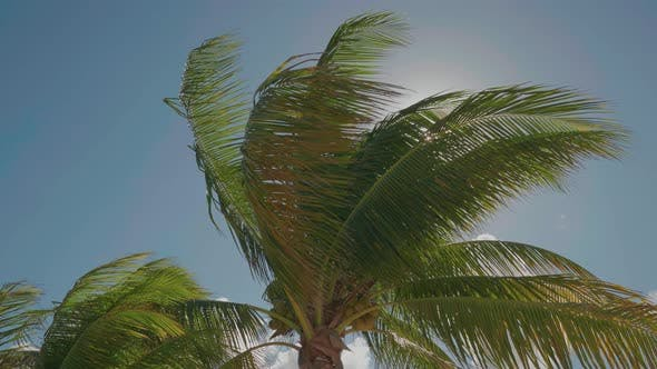 Thumbnail for Caribbean Palm Trees Swaying In The Wind With Bright Sun