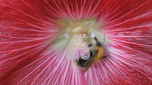 Shaggy Bumblebee Collects Pollen From the Stamen