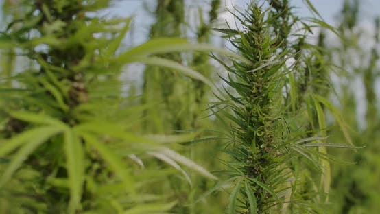 Thumbnail for Medical Cannabis for Cannabis Oil
