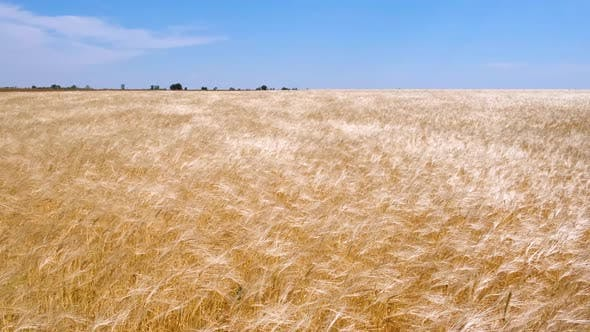 A beautiful large wheat field. Wheat swaying in the wind. Grain harvest