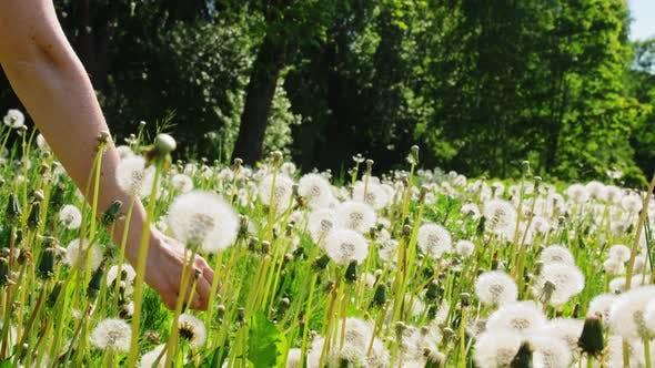 Hand of Woman Picking Dandelion Flower on Field