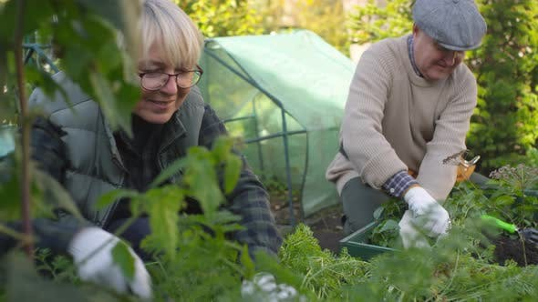 Thumbnail for Retired Caucasian Couple Working Together at Allotment