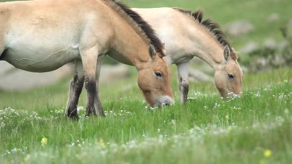 Thumbnail for Wild Przewalski Horses in Natural Habitat in The Meadow of Mongolia