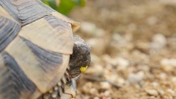 Testudo hermanni turtle hiding in armour 4K 2160p UltraHD footage - Testudo graeca slowly eating gra