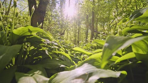 Lush Green Forest with Beautiful Foliage and Bright Sun in Background