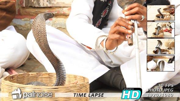 Thumbnail for Cobra Snake India (5-Pack)