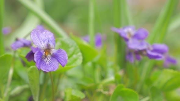 Thumbnail for Beautiful viola odorata spring-briner flower hidden in the grass natural 4K 2160p 30fps UltraHD vide