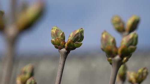 Lilac or Common Lilac Buds 7