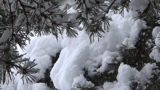 Thumbnail for Winter Pine Tree In Snow 04
