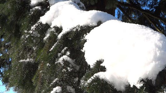 Thumbnail for Spring Forest - 12 - Snowy Xmas Trees