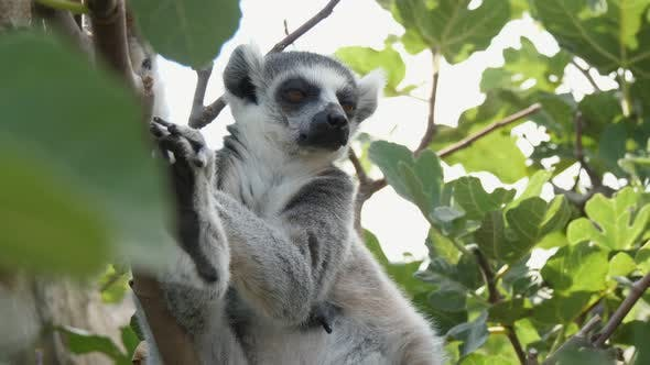 Thumbnail for Cheery Lemur Sitting on a Tree Twig and Watching Around on a Sunny Day in Summer