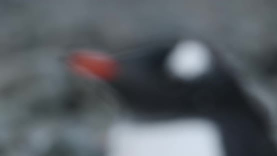 Thumbnail for CU FOCUSING Profile of Gentoo Penguin (Pygoscelis papua) chick / Cuverville Island, Antarctica