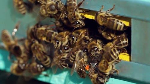 Honigbienen schwärmen und fliegen um ihren Bienenstock