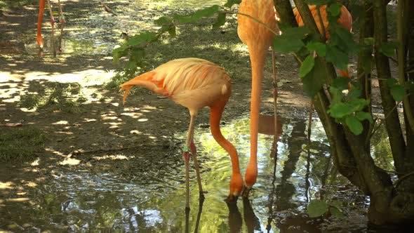 Thumbnail for Flamingo Wild Africa