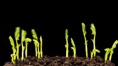 Grows Sprouting