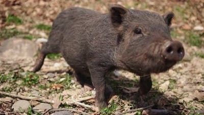 Dirty Wild Pig Goes Straight to the Camera