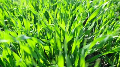 Fresh Spring Green Grass Agriculture