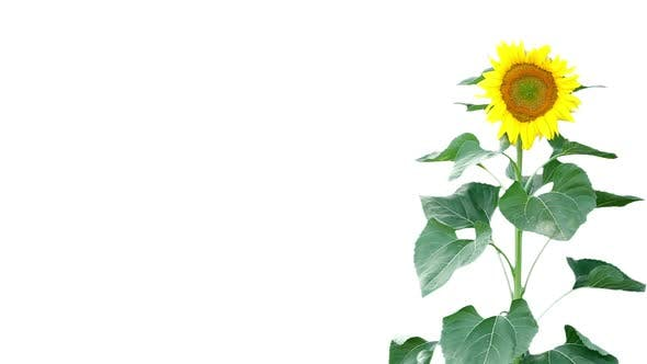 Thumbnail for Sunflower On White 2