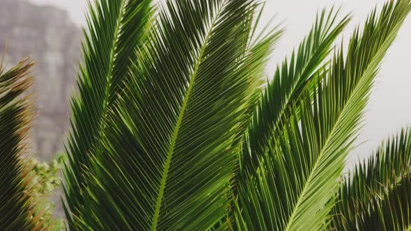Thumbnail for Tilting Shot of Green Palm Leaves Going Up Its Tips on a Windy Day