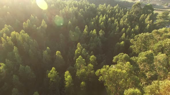 Thumbnail for Flying Over Pine Trees at Sunset