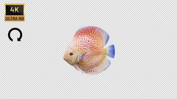 Discus Fish Side View