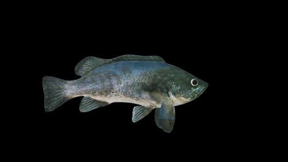 Thumbnail for Rockfish