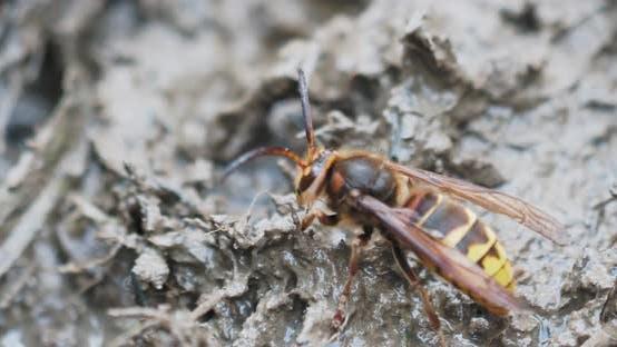 Hornet Crawls at Mud