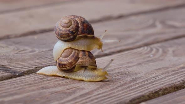 Thumbnail for Snail Couple Make Love, Close Up