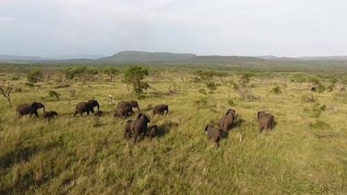 Herd of Elephants moving through lush green grass in Kwazulu Natal, South Africa.