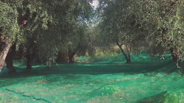 Thumbnail for Olivenanbau
