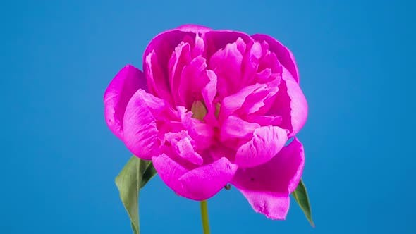 Thumbnail for Pink Peony Flower Blooming