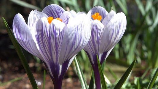 Thumbnail for White Pink Crocuses - Spring Flowers - 124